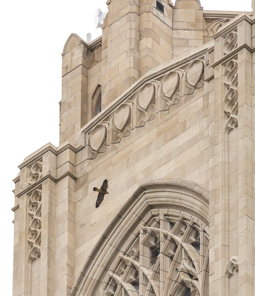 Pitt fledgling flies around the Cathedral of Learning, 7 June 2017 (photo by Peter Bell)