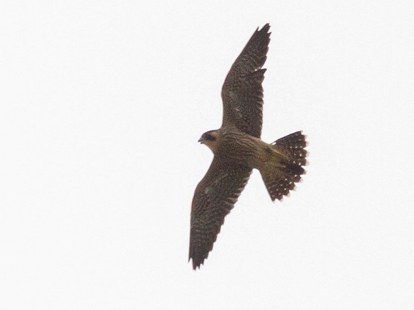 Pitt fledgling in flight, 7 June 2017 (photo by Peter Bell)