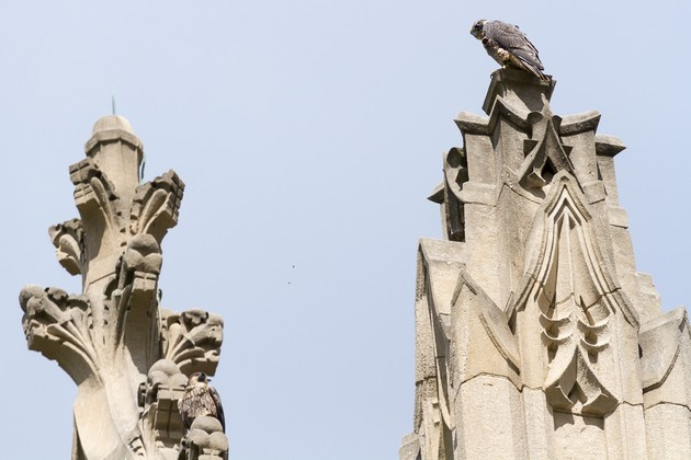 Two fledglings perched on Heinz Chapel's ornate roof (photo by Peter Bell)