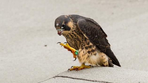 Juvenile male peregrine, 09/AP, after his meal (photo by Peter Bell)