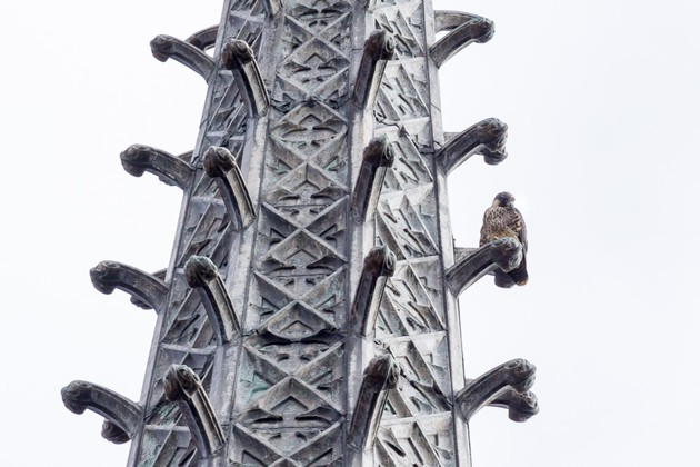 Fledgling on Heinz Chapel steeple, 8 Jun 2017 (photo by Peter Bell)
