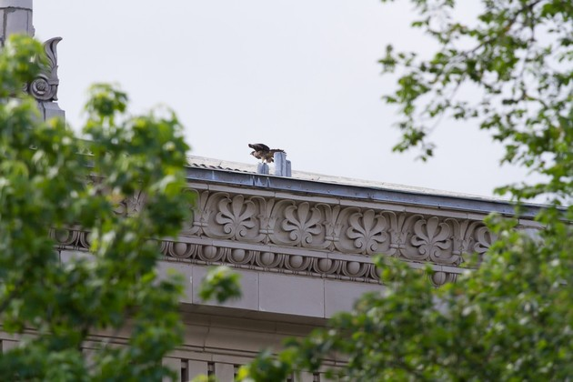 Fledgling on Alumni Hall roof, 8 Jun 2017 (photo by Peter Bell)