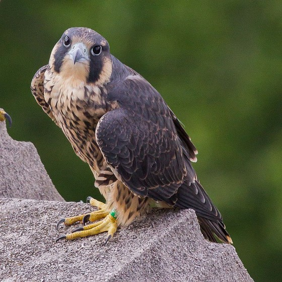 Juvenile Pitt peregrine, 09/AP, in happier days (photo by Peter Bell)