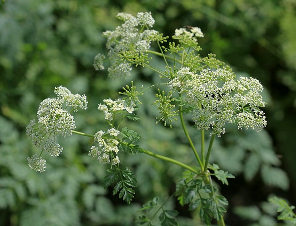 Poison hemlock flowers (photo from Wikimedia Commons)
