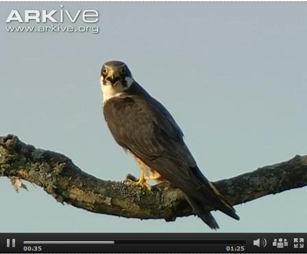 Screesnhot of Eurasian hobby video at Arkive.org