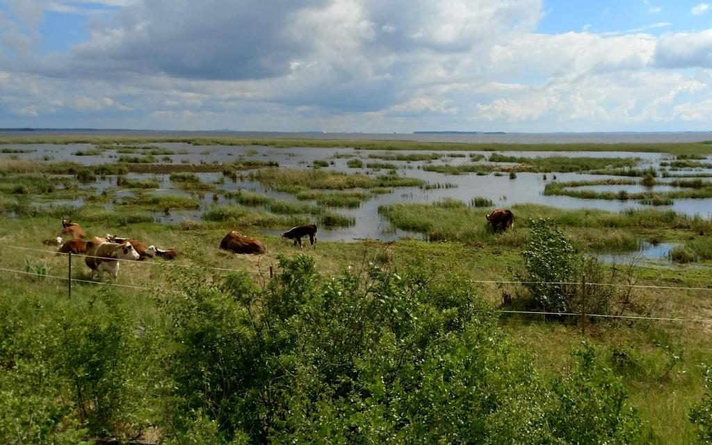 Cows grazing by Lake Pyhäselkä, Joensuu, Finland