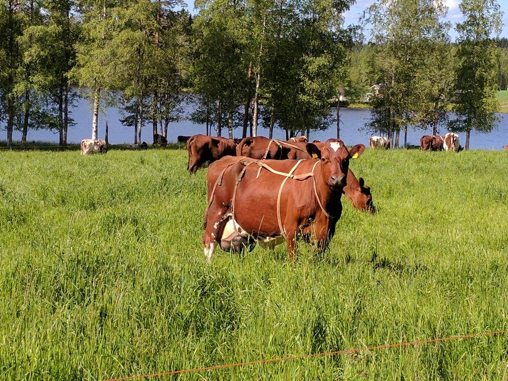 These cows have udders so heavy that they must wear bras, near Rikkavesi lake, Finland