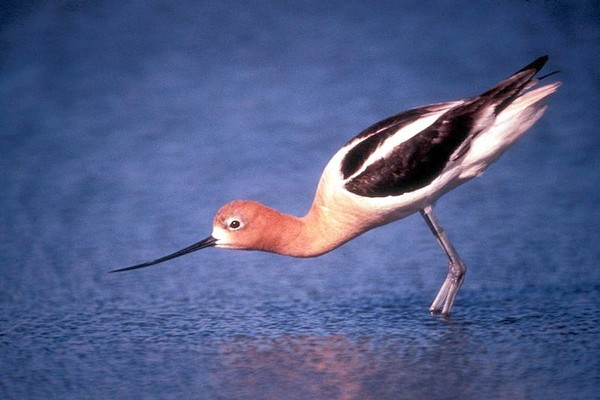 American avocet (photo from Wikimedia Commons)