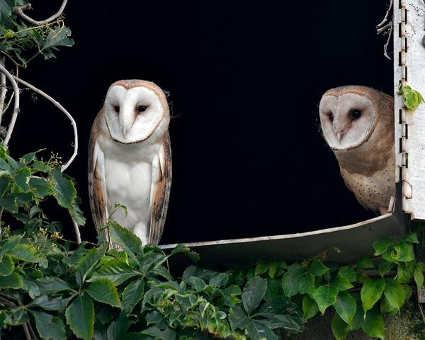 Barn owls, western Pennsylvania, July 2017 (photo by Anthony Bruno)