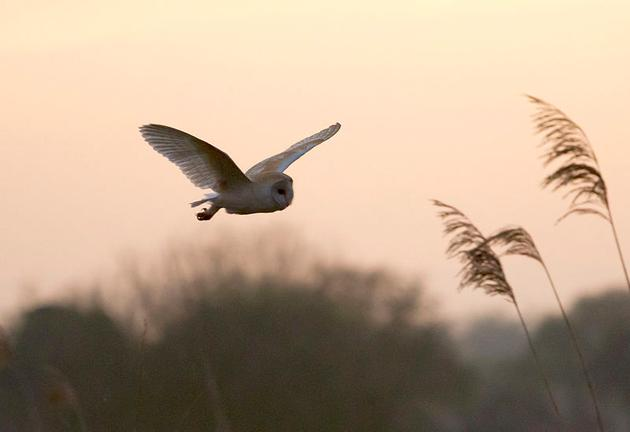 Barn owl at South Acre, Norfolk, UK (photo from Wikimedia Commons)