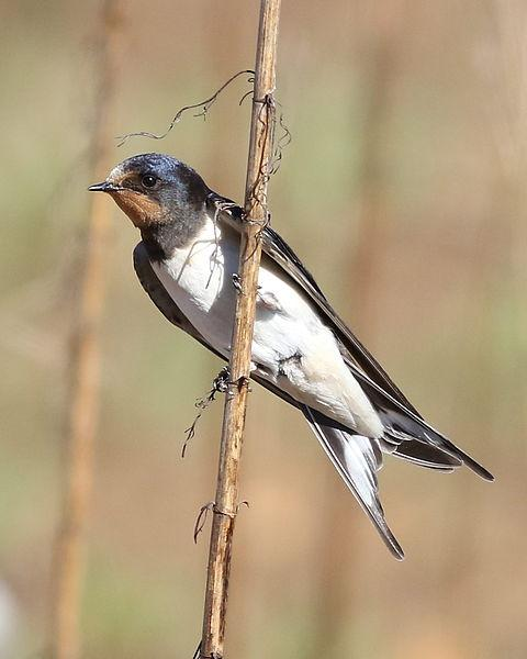Barn swallow in South Africa (photo from Wikimedia Commons)