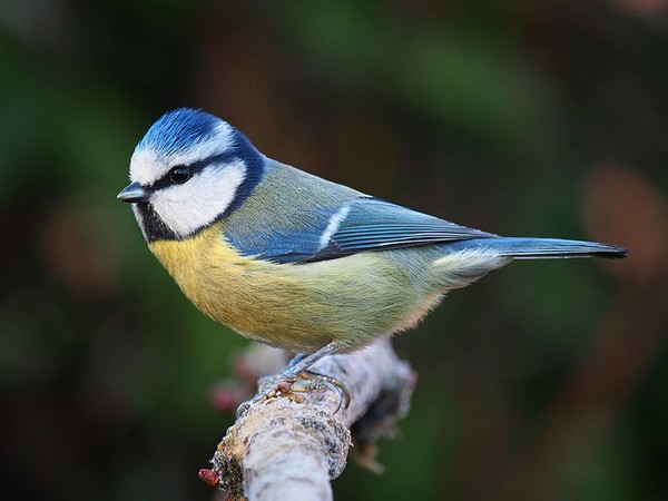 Blue tit in Lancashire, England (photo from Wikimedia Commons)
