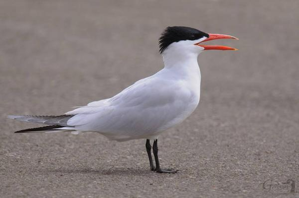 Caspian tern (photo by Steve Gosser)