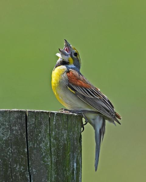 Dickcissel singing in western PA, 10 June 2017 (photo by Anthony Bruno)
