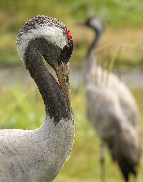Closeup of Eurasian crane (photo from Wikimedia Commons)