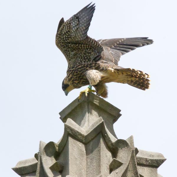 Juvenile female peregrine, 08/BR, at Heinz Chapel, 8 June 2017 (photo by Peter Bell)
