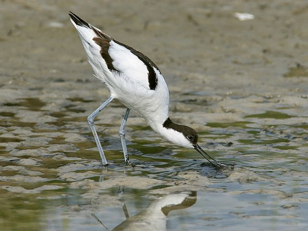 Pied avocet, Netherlands (photo from Wikimedia Commons)