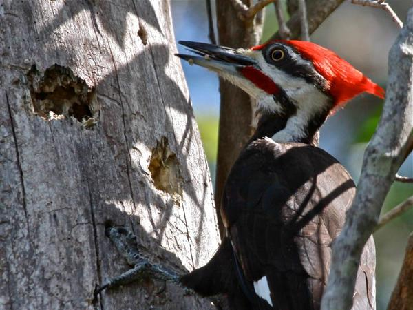 Pileated woodpecker, April 2012 (photo by Chuck Tague)