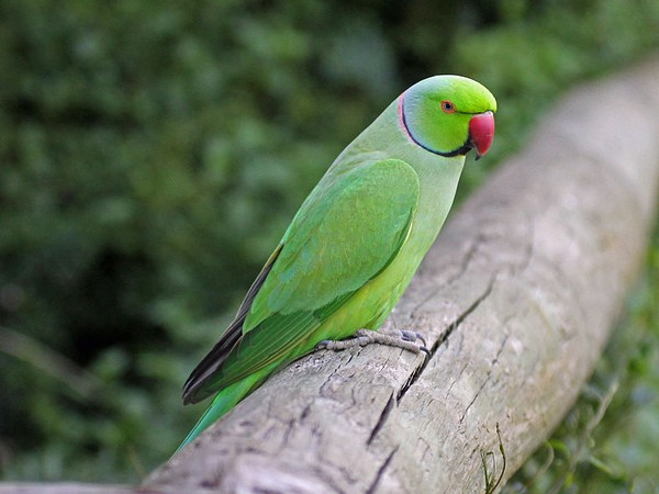 Male rose-ringed parakeet (photo from Wikimedia Commons)