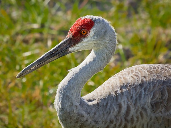 Sandhill crane (photo from Wikimedia Commons)