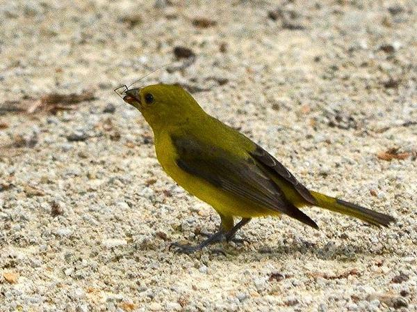 Female scarlet tanager carrying food to feed young (photo from Wikimedia Commons)