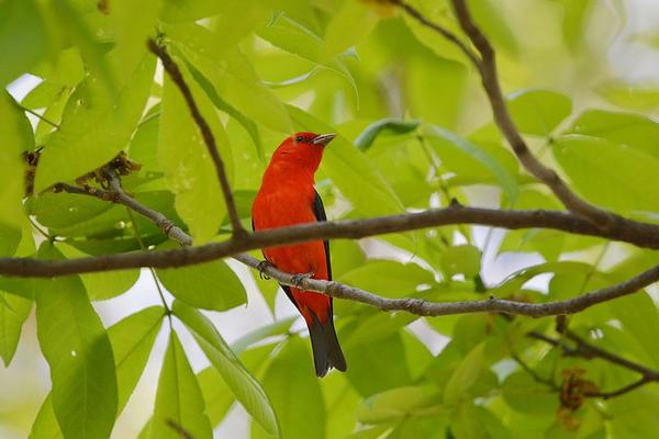 Male scarlet tanager (photo from Wikimedia Commons)