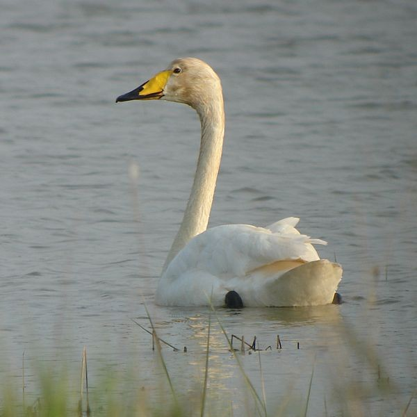 Whooper swan (Cygnus cygnus), photo from Wikimedia Commons