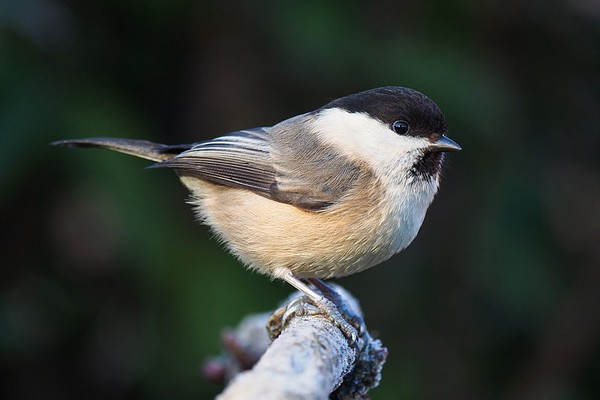 Willow tit, Lancashire, England (photo by Francis Franklin via Wikimedia Commons)