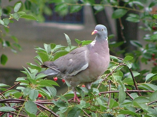 Common Woodpigeon in Gdansk (photo from Wikimedia Commons)