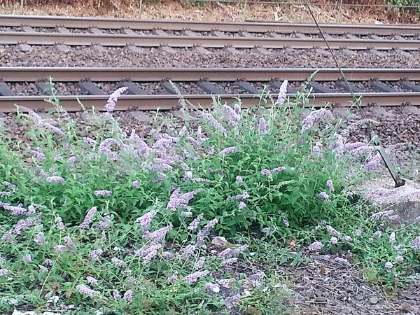 Buddleja davidii by the railroad in Germany (photo from Wikimedia Commons)