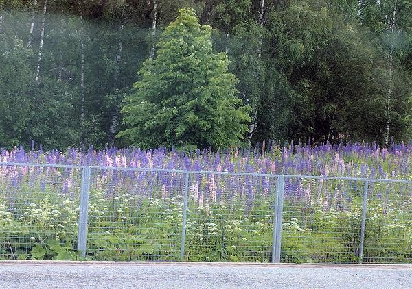Lupine along the railroad in Finland (photo taken from the train by Kate St. John)