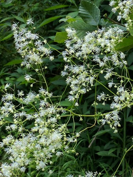 Tall meadow rue, Raccoon Creek State Park, 9 July 2017 (photo by Kate St. John)