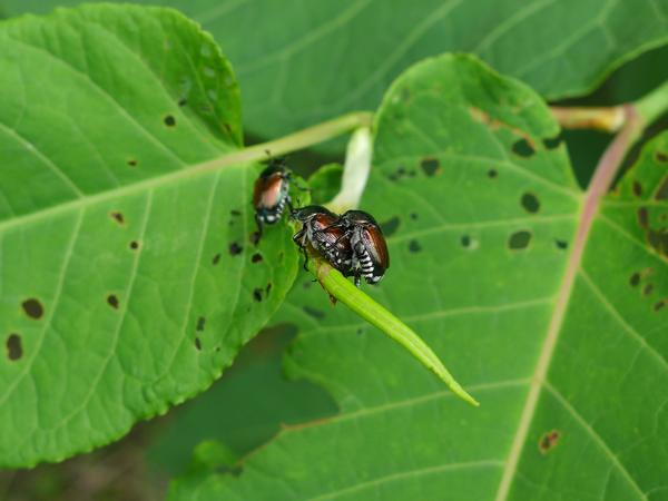 Japanese beetles mating on Japanese knotweed, Allegheny County, PA, June 2017 (photo by Kate St. John)