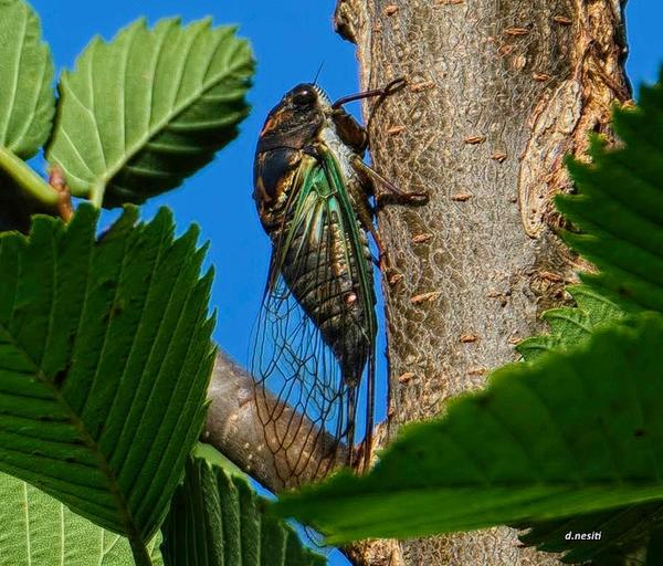 Cicada, western Pennsylvania (photo by Dana Nesiti)