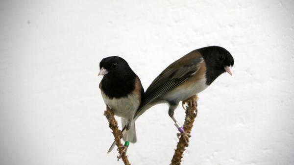 Danielle Whittaker, BEACON researcher, used dark-eyed juncos to demonstrate how songbirds use scent to attract mates. Credit: Photo courtesy of BEACON
