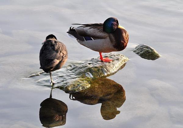 Asleep: mallard and European coot (photo from Wikimedia Commons)