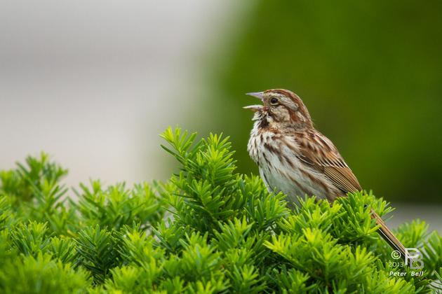Song sparrow singing (photo by Peter Bell)