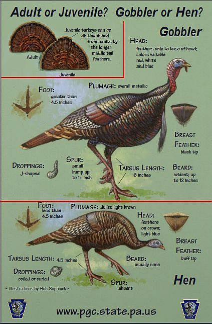 How to sex and age wild turkeys by sight (screenshot of PGC poster)
