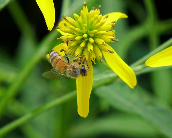 Honeybee on wingstem (photo by Kate St.John)
