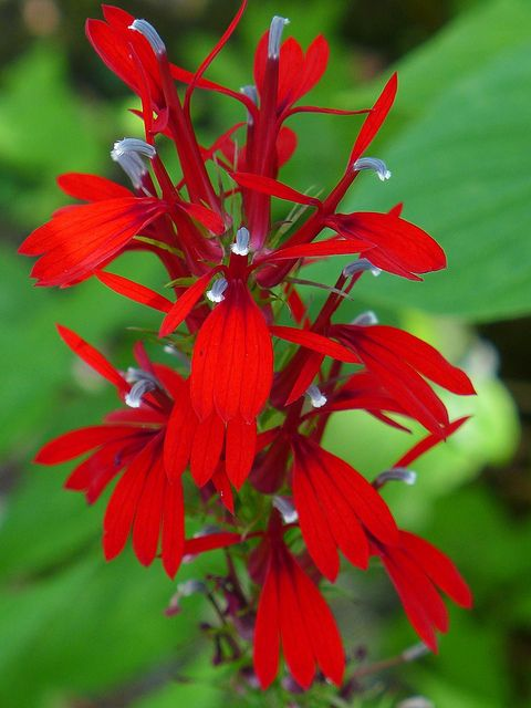 Cardinal flower (photo by Kate St. John)
