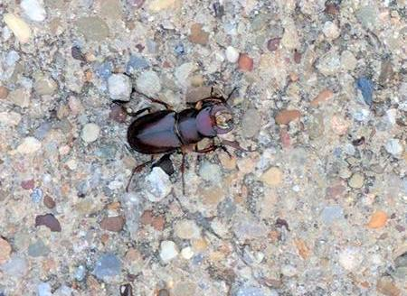 Reddish-brown stag beetle, Pittsburgh, 1 Aug 2017 (photo by Kate St. John)