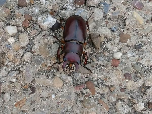 Reddish-brown stag beetle, Pittsburgh, 1 Aug 2017 (photo by Rick St. John)
