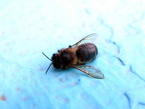 Dead bee (photo from Wikimedia Commons)