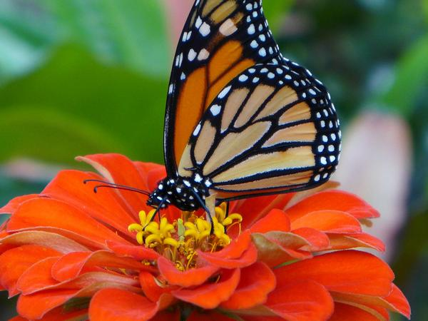Monarch butterfly on a zinnia (photo by Kate St.John)