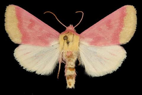 Primrose moth specimen, mounted (photo from Wikimedia Commons)
