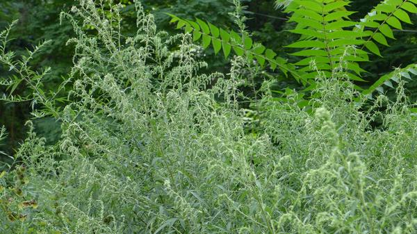 Mugwort looks messy where there's a lot of it in August (photo by Kate St. John)