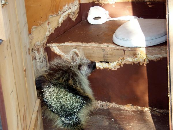 Porcupine eating an outhouse (photo from Western Arctic National Parkland on Flickr, Creative Commons license)