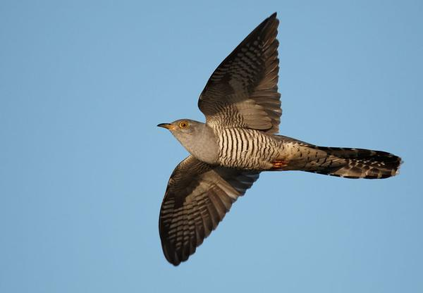 Common cuckoo in flight (photo from Wikimedia Commons)