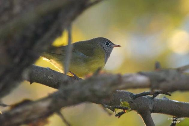 Connecticut warbler in western PA, September 2013 (photo by Steve Gosser)