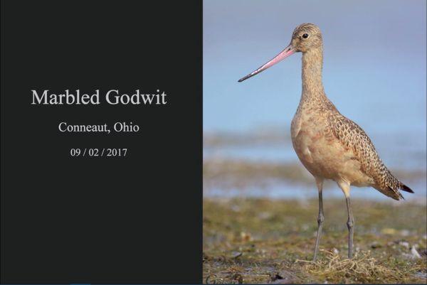 Marbled godwit (screenshot of video by Steve Gosser)